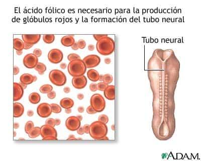 Formación del tubo neuronal