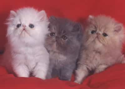 gatitos-persa.jpg