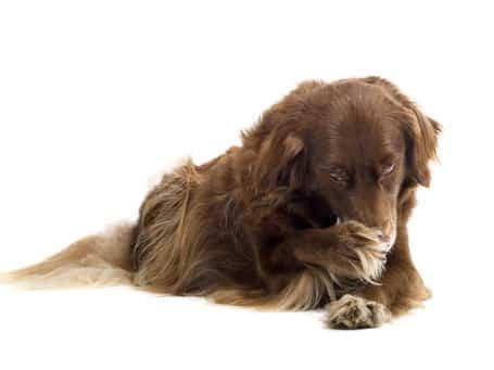 perro-con-pulgas