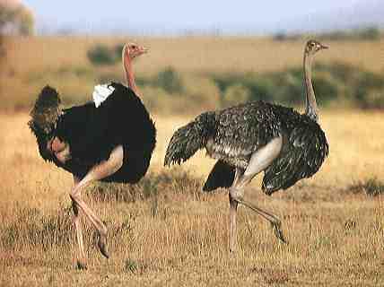 dos avestruces