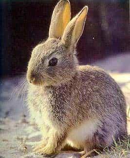 conejo_comun