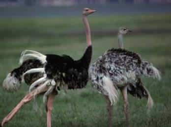 dos-avestruces1