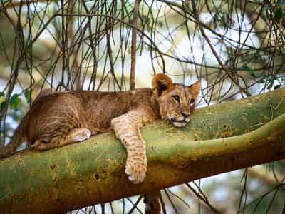 leon-durmiendo