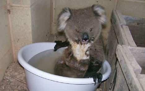 koala calor2
