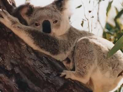 koala en peligro de