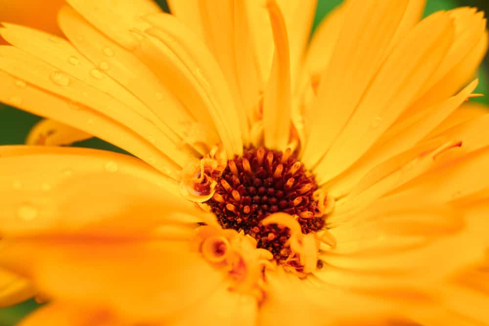 planta calendula
